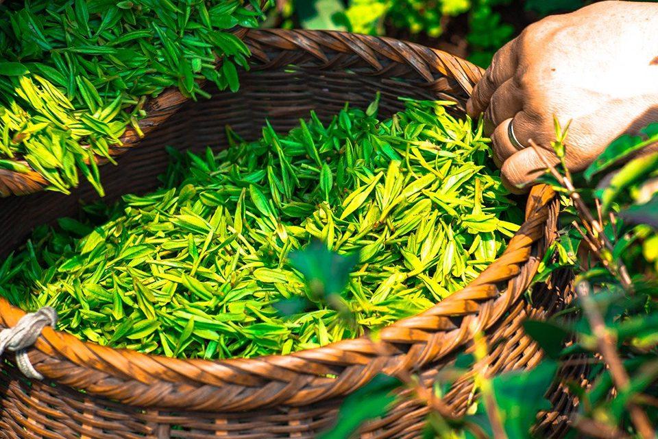 feuilles de thé fraîchement cueillies