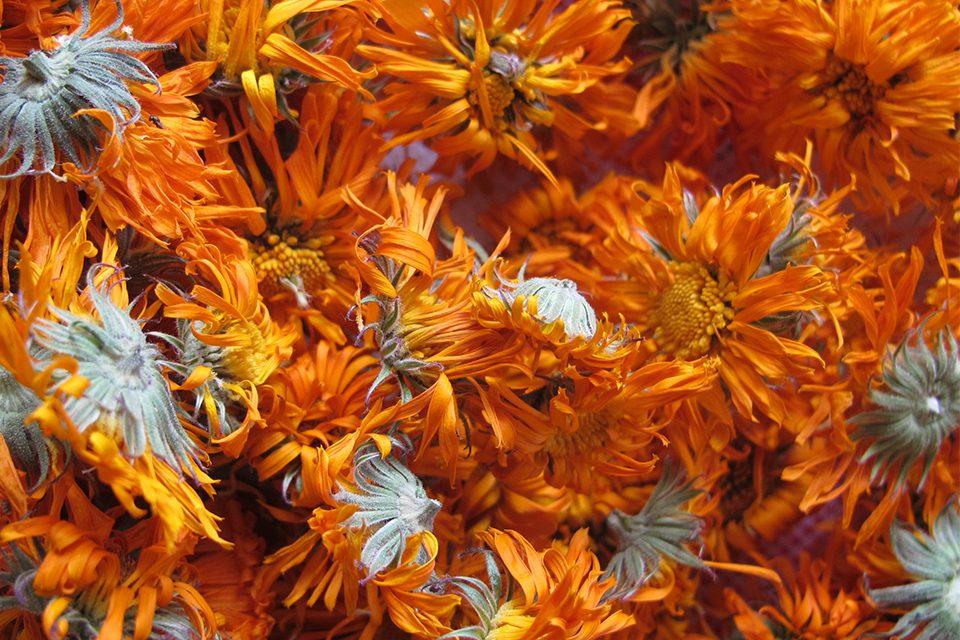 fleurs calendula