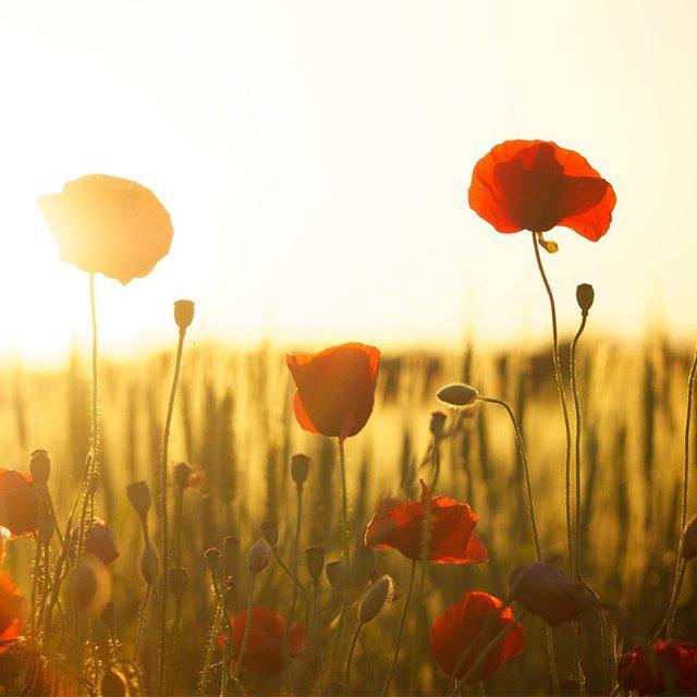 champs coquelicots avec soleil