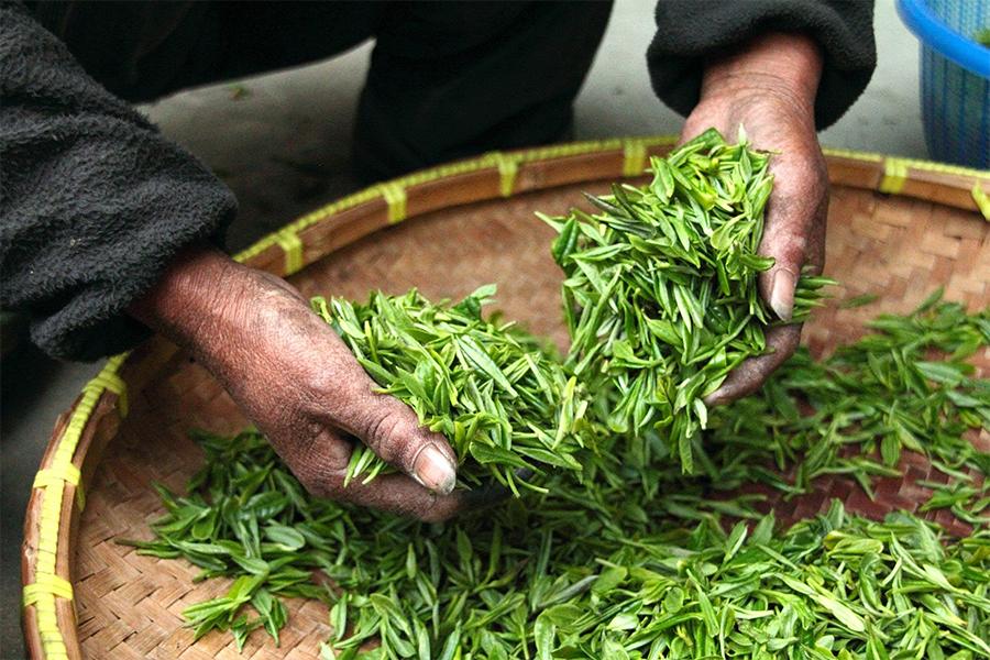 feuilles de thé jaune manipulées à la main, savoir faire